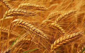 The wheat...