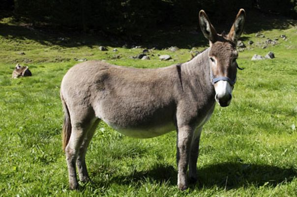 donkey-pic-getty-810519918