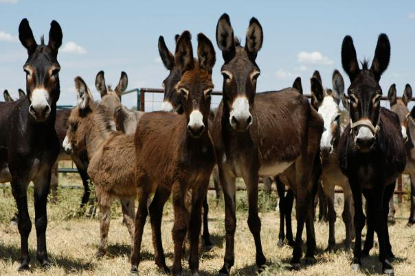 BUSINESS -- , Donkeys on a farm owned by the Navarro County Sheriff's Office in Navarro County, Texas on Friday, Sept. 2, 2011.  KEVIN MARTIN/kmartin@express-news.net