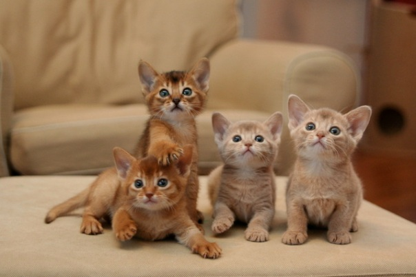 4_Abyssian_kittens