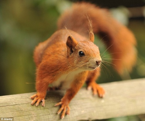 Long Live The Red Squirrel